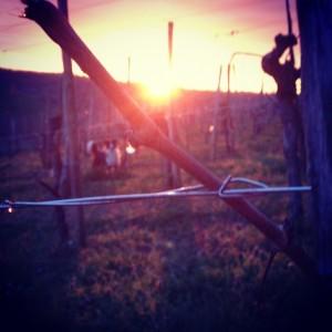 Vine weeping – Cru Lamouroux – Jurançon