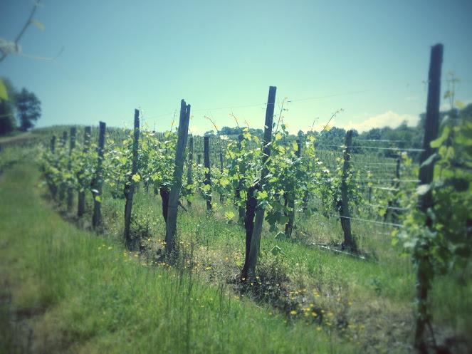 The property's vineyard – Cru Lamouroux – Jurançon