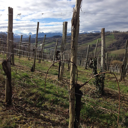 Vines are Double Guyot pruned in Cru Lamouroux – Jurançon