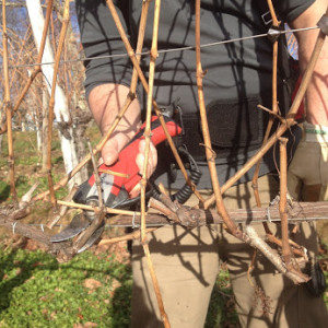Pruning by hand of the vines – Cru Lamouroux – Jurançon