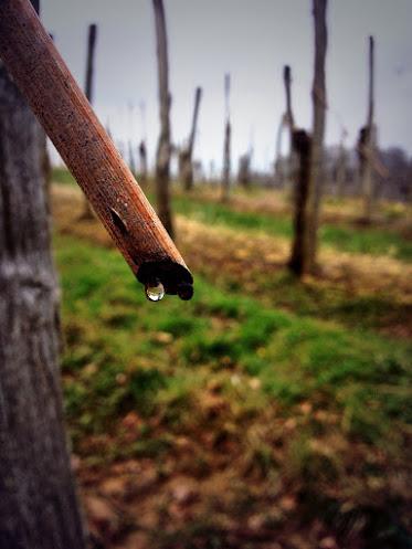Pleurs de la vigne au Cru Lamouroux – Jurançon