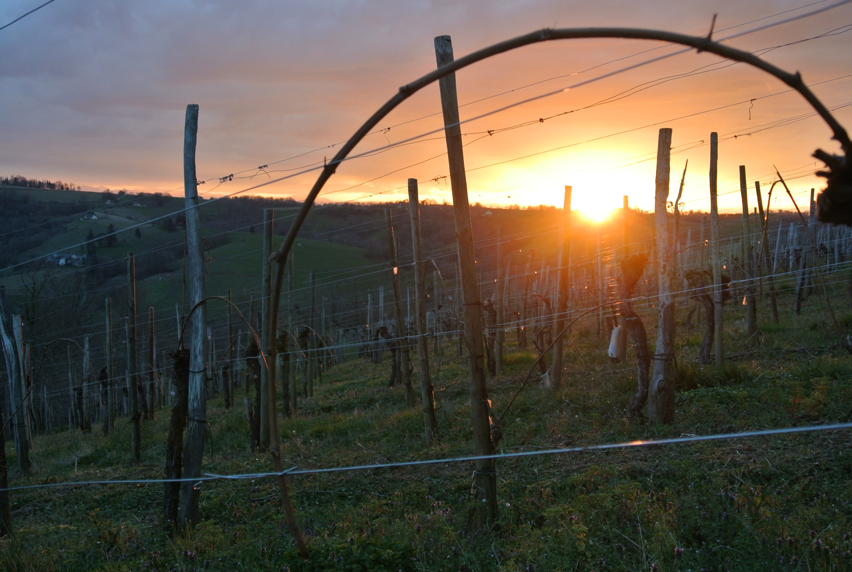 Cru Lamouroux's vines at sunset – Jurançon