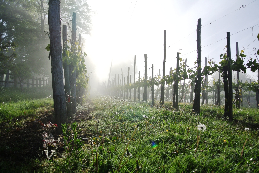 Grapevines – Cru Lamouroux – Jurançon