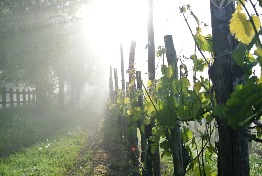 Vines – Cru Lamouroux – Jurançon