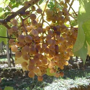 Grappe de Petit Manseng – Cru Lamouroux – Jurançon