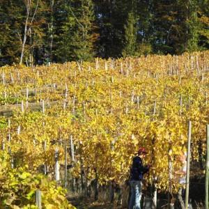 Vendanges à la main au Cru Lamouroux – Jurançon