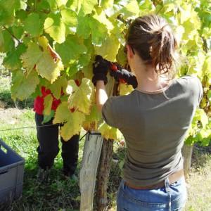 Raisins récoltés manuellement – Cru Lamouroux – Jurançon