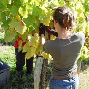 Grapes are harvested by hand – Cru Lamouroux – Jurançon