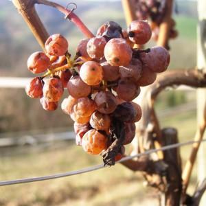 Raisins confits – Cru Lamouroux – Jurançon