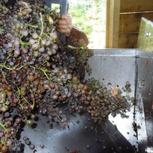 Egrappage des raisins récoltés – Cru Lamouroux – Jurançon