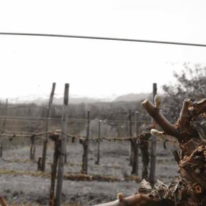 Some vines are pruned in Cordon – Cru Lamouroux – Jurançon