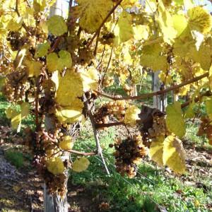 Ripened grapes – Cru Lamouroux – Jurançon