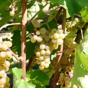 Ripened grapes for the Jurançon Sec (dry) – Cru Lamouroux